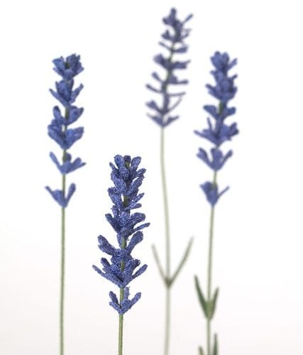 Lavender-heads-web
